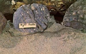 Snake - Desert Night Snake