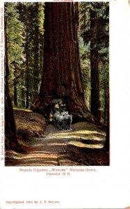 California Mariposa Grove Giant Sequoia Tree Wawona Drive Thru Tree