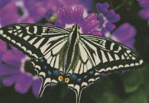 Papilio Xuthus Asian Swallowtail Butterfly Postcard