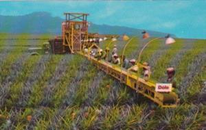 Hawaii Harvesting PIneapples On The Dole Plantation