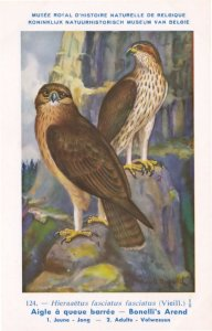 Bonelli's Eagle Hieraaetus Fasciatus WW2 Antique Bird Postcard