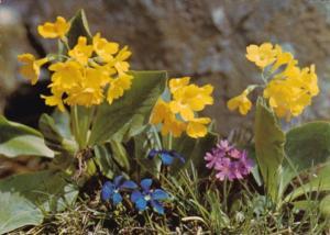 Flowers Felsenaurikel Primula auricula