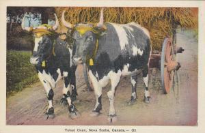 NOVA SCOTIA, Canada, 1930s; Yoked Oxen