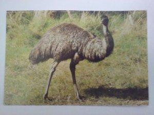 AUSTRALIAN Emu - Native bird of Austrailia postcard