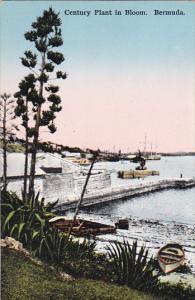 Century Plant In Bloom Bermuda