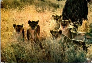 African Fauna Lioness and Cubs Postcard used 1960s Kenya