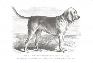Postcard Mrs S.A Humphries' Bloodhound, Don, The Dog Lovers Collection #126