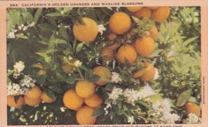 California Golden Oranges and Waxlike Blossoms 1956