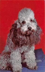 Poodle  Postcard Post Card  Poodle