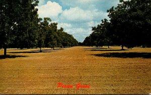 Georgia Typical Pecan Grove 1966