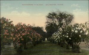 Galveston TX c1910 Postcard EXC COND Oleanders in Bloom