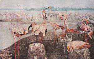 Illinois Chicago American Flamingos Chicago Natural History Museum 1958