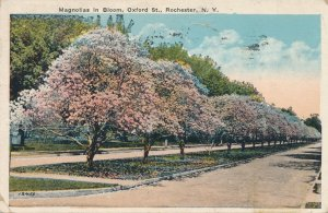 Rochester NY, New York - Oxford Street Magnolias in Bloom - pm 1931 - WB
