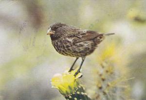 Galapagos Islands , Ecuador , PU-1982 ; Darwin Finch