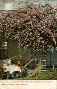 CA - Giant Rose Bush