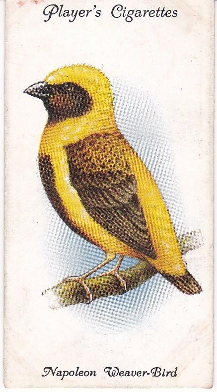 Cigarette Cards Playe Aviary and Cage Birds No 38 Napoleon Weaver-Bird