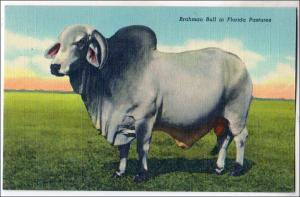 Brahman Bull FL
