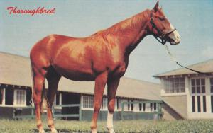 1940-1960´s; Horse, Thoroughbred