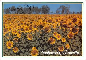 Australia Sunflowers Capricorn Region Where the Outback Meets the Reef