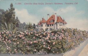 California Pasadena Cherokee Rose Hedge At Durand's Residence
