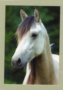 Morgan Mare Lovely Horse Postcard Head Study
