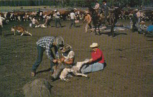 Canada Infield Action On A Cattle Ranch British Columbia