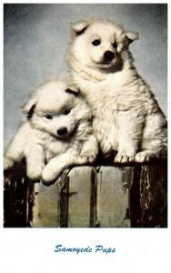 Dog     Samoyede Pups