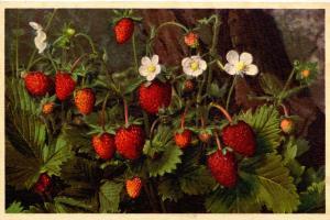 Flowers -   Wild Strawberry         (Thor & Gyger #706)