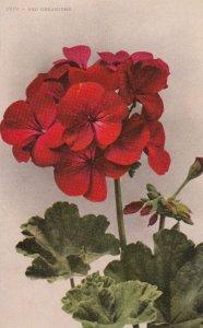 Red Geranium Flower , 00-10s