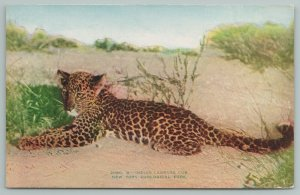 New York Zoological Park~Indian Leopard Lounging Cub~c1910 Zoo~Here Kitty, Kitty