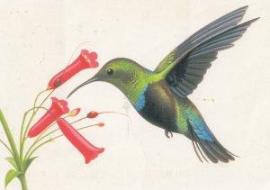 Green-throated Carib Humming Bird , 2000