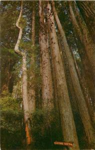 Redwood Highway California~Lightning Tree~1950s PC