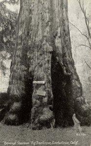 CA - Santa Cruz County. Big Trees Park, General Sherman