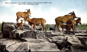 New York City Bronx Zoo Barbary Wild Sheep Family On Mountain Sheep Hill New ...