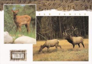Wyoming Wildlife The Elk Family