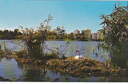 Nesting Swan in Lost Lagoon, VANCOUVER, British Columbia, Canada, 40-60s