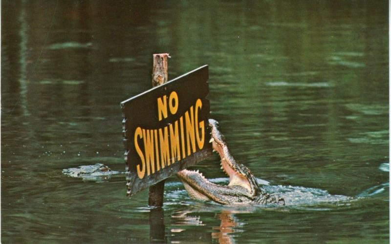 No Swimming Gator Lagoon Homosassa Springs Florida FL Alligator Postcard D26