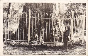 Florida Orlando Big Tree Oldest Cypress Tree In The U S Real Photo