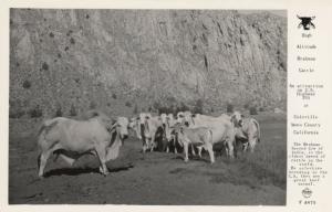 COLEVILLE , Ca. , 30-40s ; High Altitude Braham Cattle ; FRASHERS F 8970