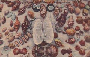 Sea Shells From The Lower Gulf Coast Of Florida Curteich