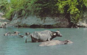 Philippine Adult and Baby Water Buffalo, Carabao, Cooling Off in River, Phili...