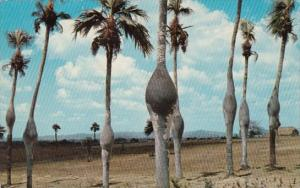 Palma Barrigona Native Palm Tree Of Pinar del Rio Cuba