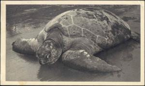 spanish guinea, Tortue de Mer, TURTLE (1953) Stamps