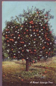 Pico Heights CA - NAVEL ORANGE TREE loaded with blossoms and fruit... 1910s
