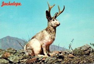 Arizona Humour Wild Jackalope