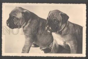 109437 Lovely Puppies ENGLISH BULLDOG Vintage PHOTO PC