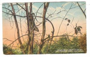 Iguana, View Taken On Gatun Lake, Panama, 1900-1910s