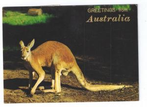 Greetings From Australia Red Kangaroo 1973  4X6 Chrome