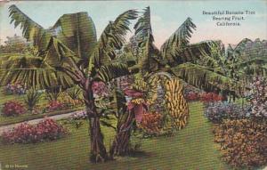 Beautiful Banana Tree Bearing Fruit In California
