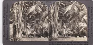 SV: 1910s ; Native Porter laden w/ Durians , Island of Java , Indonesia